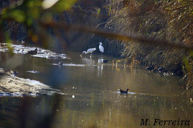 Foz do rio Alcabrichel, Pato real, garça branca pequena e Galinha d'água ambiente_04 Lagarto-de-água (Lacerta schreiberi)