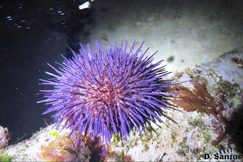 Ouriço do mar (Paracentrotus lividus)