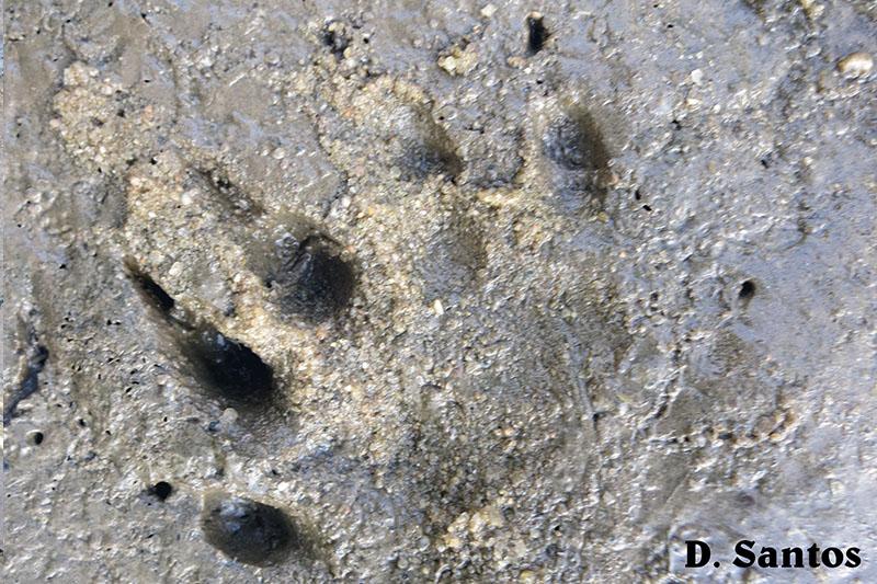 Pegadas de mamíferos selvagens, junto ao leito do rio Alcabrichel