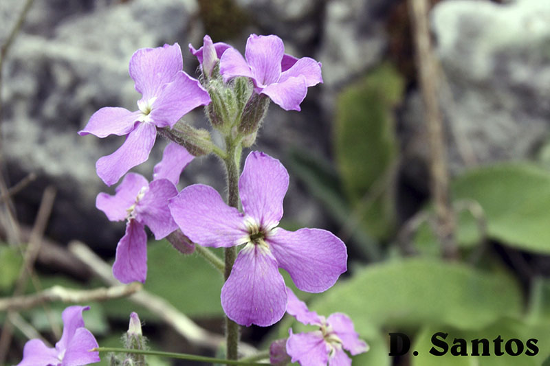 Hesperis laciniata, planta muito rara em Portugal